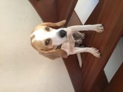 Marley, chien Beagle