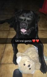 Marley, chien Labrador Retriever