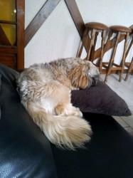 Marley, chien Shih Tzu