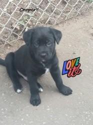 Marley, chien Husky sibérien