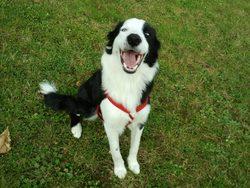 Marley , chien Border Collie