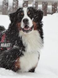 Marley, chien Bouvier bernois