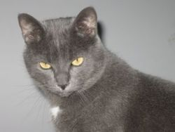 Marley, chat Chartreux