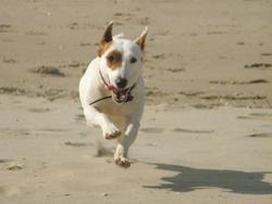 Marley, chien Jack Russell Terrier