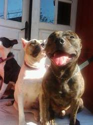 Marley, chien American Staffordshire Terrier