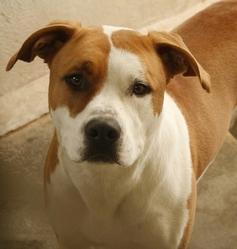 Marlon , chien Dogue argentin