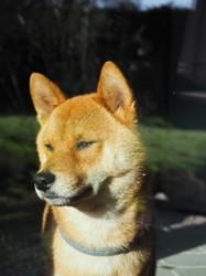 Marlow, chien Shiba Inu