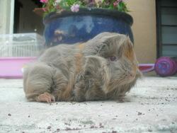 Marmotte, rongeur Cochon d'Inde