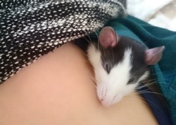 Marnie, rongeur Rat