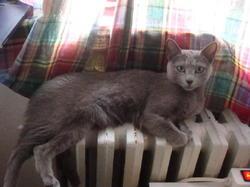 Marnounne, chat Bleu russe