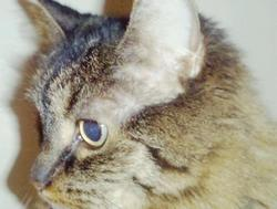 Maroucia, chat Maine Coon