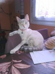 Marquise, chat American Shorthair