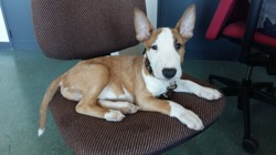 Mars, chien Bull Terrier