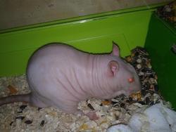 Marshall, rongeur Rat