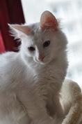 Marshmallow, chat Angora turc