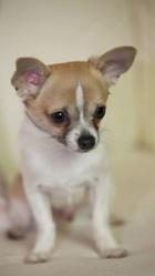 Martin, chien Chihuahua