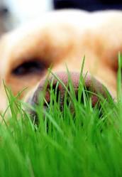 Martin, chien Labrador Retriever