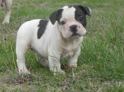 Yuki, chien Bouledogue français