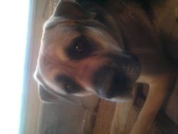 Marto, chien Boxer