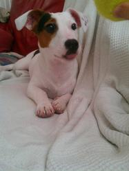 Marvel, chien Jack Russell Terrier