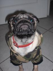 Marvin, chien Carlin