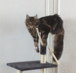 Marwen, chat Maine Coon