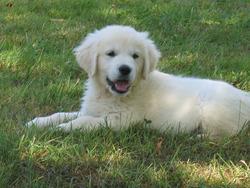 Mary, chien Golden Retriever
