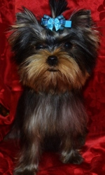 Marylyn Of Meadow Cottage, chien Yorkshire Terrier