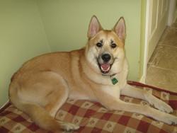 Masaki, chien Akita américain
