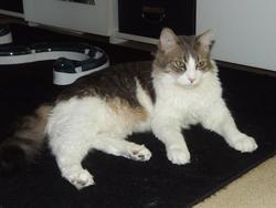 Masao, chat Européen