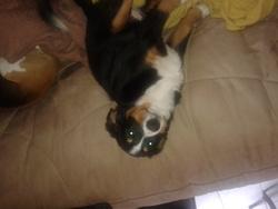 Mascha, chien Bouvier bernois