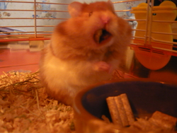 Mascotte, rongeur Hamster