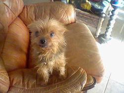 Mascotte, chien Yorkshire Terrier