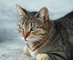 Masha, chat Européen