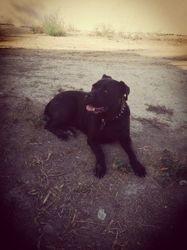 Massaille, chien Cane Corso
