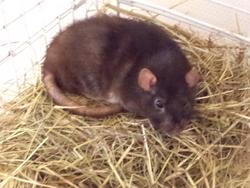 Massey, rongeur Rat