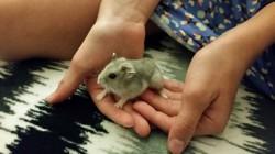 Massy, rongeur Hamster