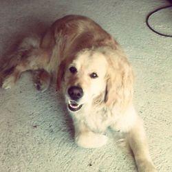 Mastoc, chien Golden Retriever