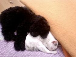 Matelot, chien Chien d'eau portugais