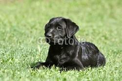 Mathéo, chien Golden Retriever