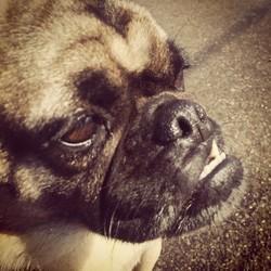 Mathéo, chien Carlin