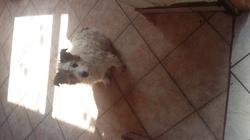 Mathéo, chien Fox-Terrier