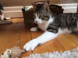 Mathéo, chat Européen
