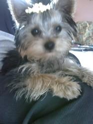 Mathilde, chien Yorkshire Terrier