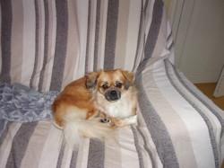 Mati, chien Épagneul tibétain