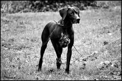 Matis, chien Braque allemand à poil court
