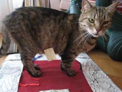 Matisse, chat Européen