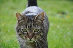 Matisse, chat Gouttière
