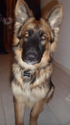 Mathis, chien Berger allemand