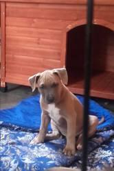 Matos, chien American Staffordshire Terrier